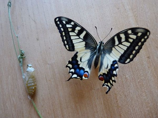 5-Machaon-ne-le-3-juillet-2012--1-.JPG