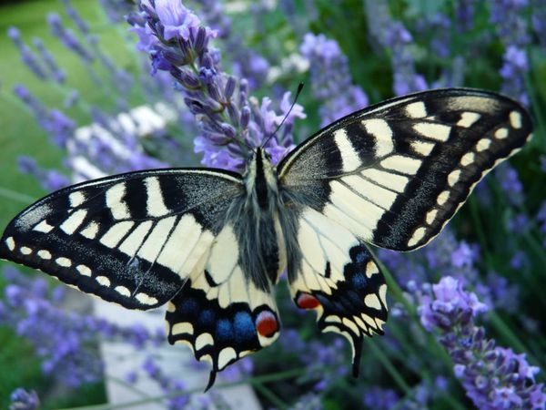 7-Machaon-ne-le-3-juillet-2012--10-.JPG