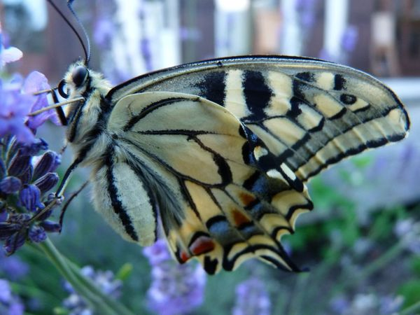 8-Machaon-ne-le-3-juillet-2012--12-.JPG