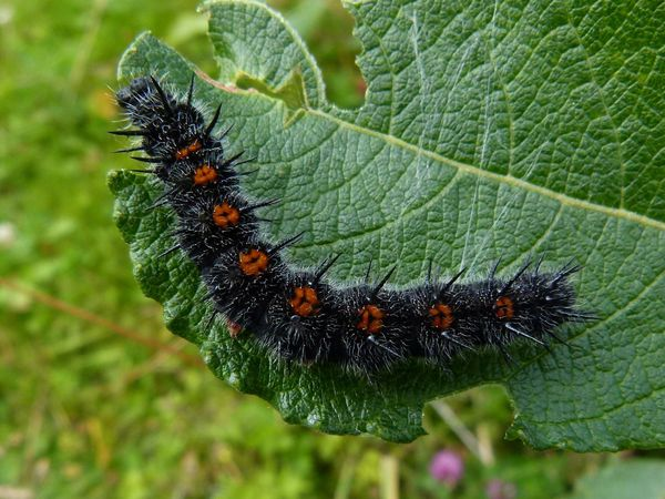Le morio nymphalis antiopa levage le blog du groupe nature - Chenille orange et noir ...