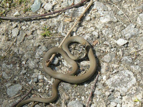 couleuvre-verte-et-jaune-juvenile-Heriophis-virid-copie-1.JPG