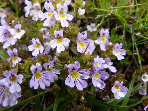 Euphrasia-alpina-TB-Mt-Cenis--3-.jpg