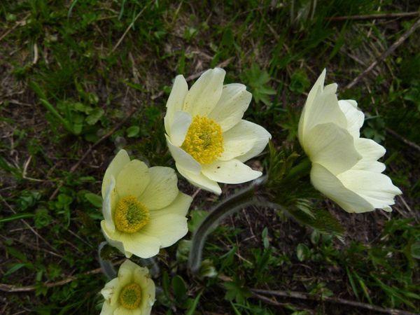 Pulsatilla-alpina-ssp-apiifolia-Pulsatille-soufree--1-.jpg