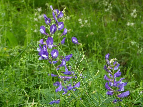 Vicia-onobrychioides--1-.JPG