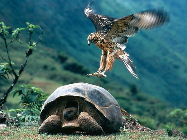 GALAPAGOS tortue et aigle