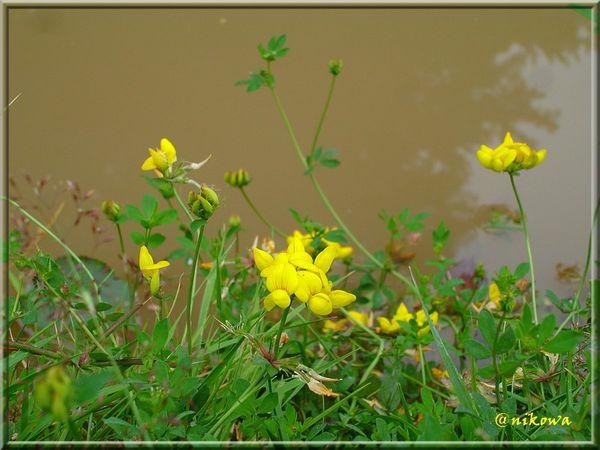 Lotus-corniculatus3.jpg