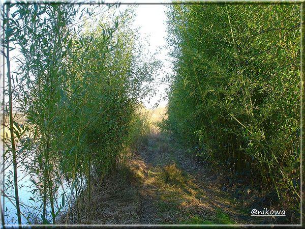 DSC04054 Les bambous en hiver