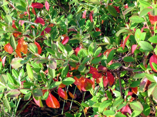Cotoneaster 4377