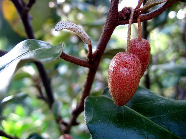 Eleagnus fruits 3447
