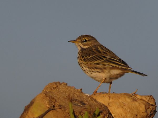 photos99 0317 pipit farlouse Brouy 91