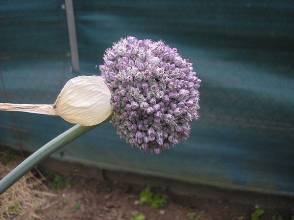 Le poireau les graines le blog de sibex - Quand repiquer les poireaux ...