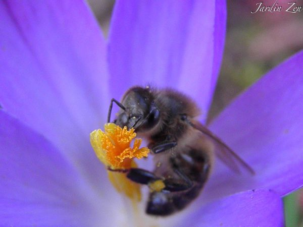 Abeille-Crocus
