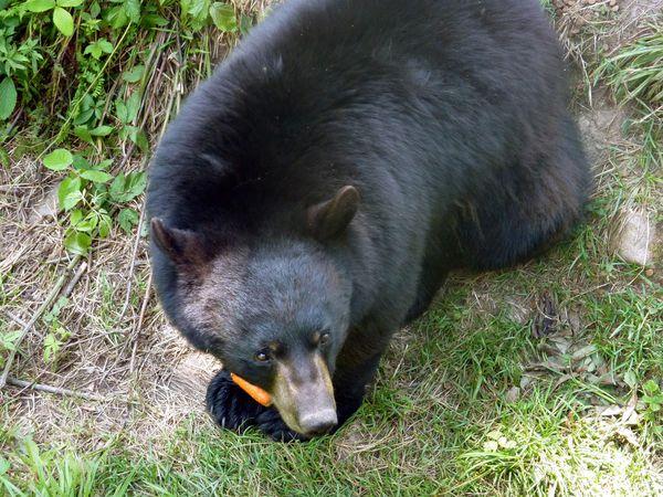 Parc-Omega-ours-carotte-b.jpg
