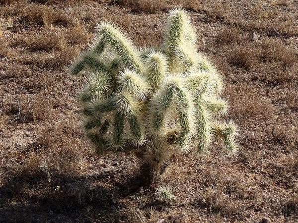Apache Junction cactus cholla b