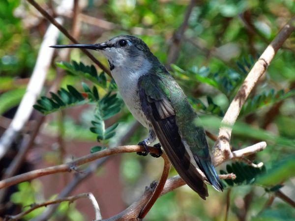 Tucson Sonoran Desert Museum colibri 3