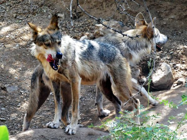Tucson Sonoran Desert Museum loups mexicains b