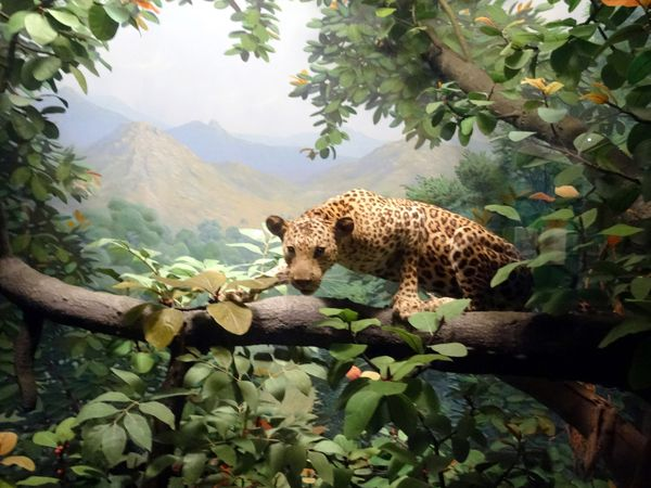 Chicago-Field-Museum-leopard.jpg