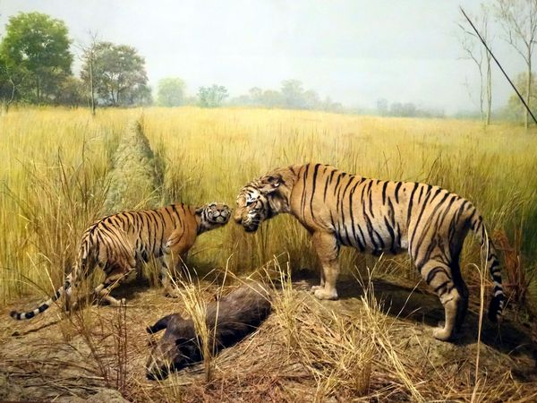 Chicago-Field-Museum-tigres.jpg