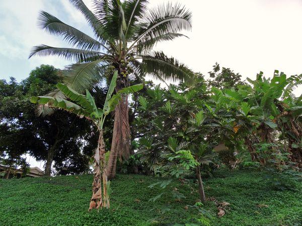 Hiva Oa 3 arbres B
