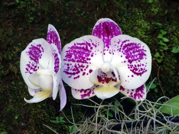 Papeete Orchidée