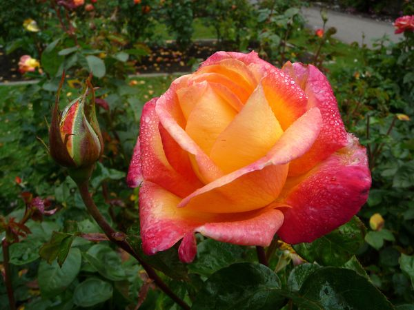 San Francisco GG Park rose 1