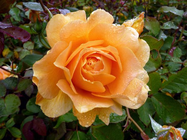 San Francisco GG Park rose 4