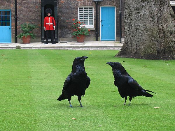 800px-London tower ravens