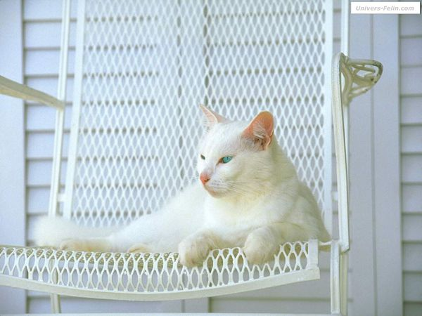 real 2976 chat blanc sur chaise