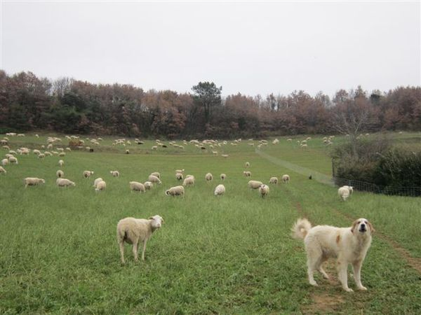 2012-06 9866-moutons-chien