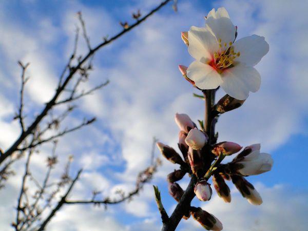 fleur-amandier-25-2.jpg