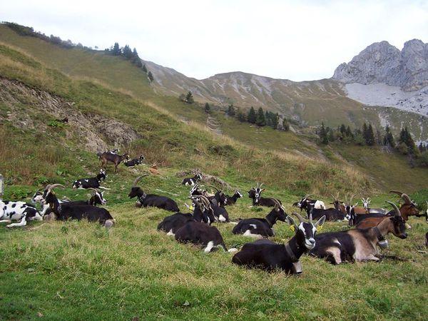 chèvres des Savoie photo Y. Lachenal
