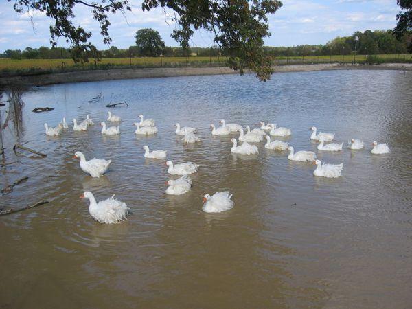 oies sébastopol sur étang