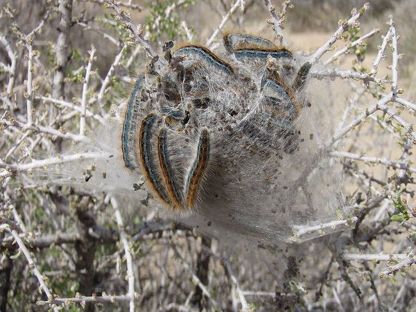 800px-Western_tent_caterpillars_Malacosoma_californicum_in_.jpg