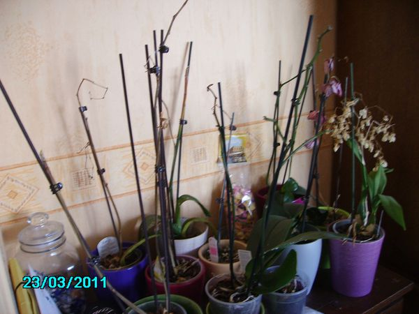 Mes-orchidees-bien-mal-en-point-23-03-2011.JPG