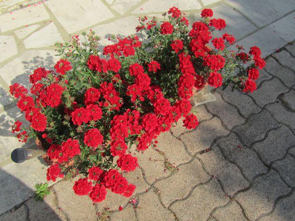 25.06.14 fleurs lingey 003
