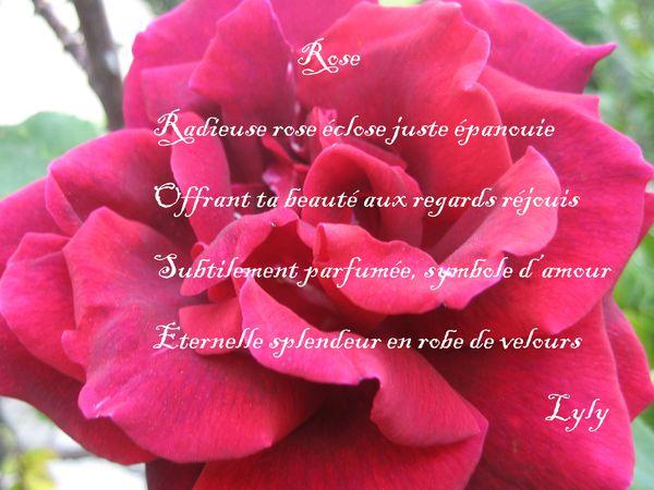 rose-texte.jpg