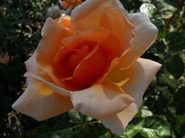 rose-orange-2.jpg
