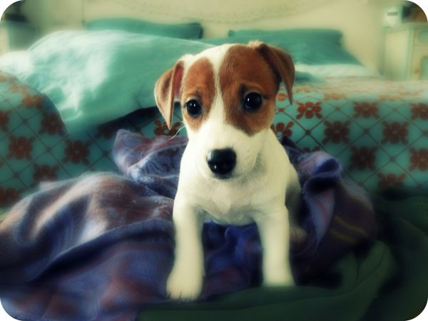 photo chien chiot jack russell valerie albertosi portrait a