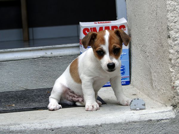 photo chiot Jack Russell terrier Valerie albertosi