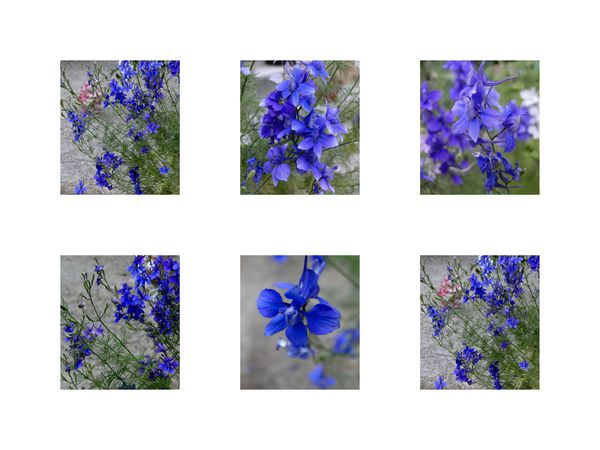photo fleurs bleues delphinium-copie-1