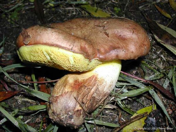 Suillus collinitus - Bolet à base rose