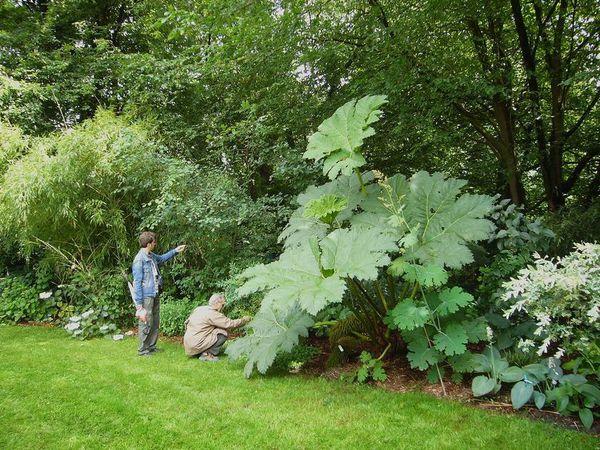 NATURE(S) - Plantes extraordinaires - Gunnera manicata (04)