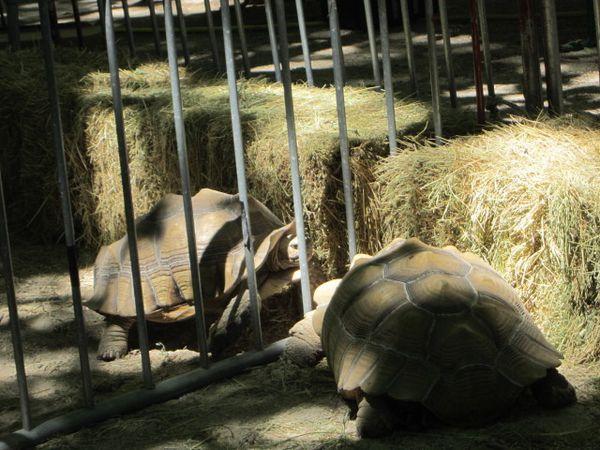 fete-des-tortues-a-Sommieres-290613-087.jpg