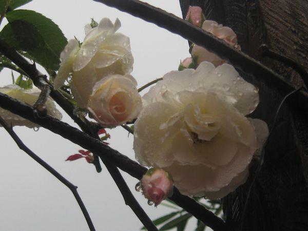roses-de-mon-jardin 2767