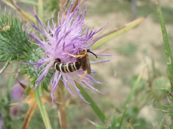 abeille colette Photo 2539