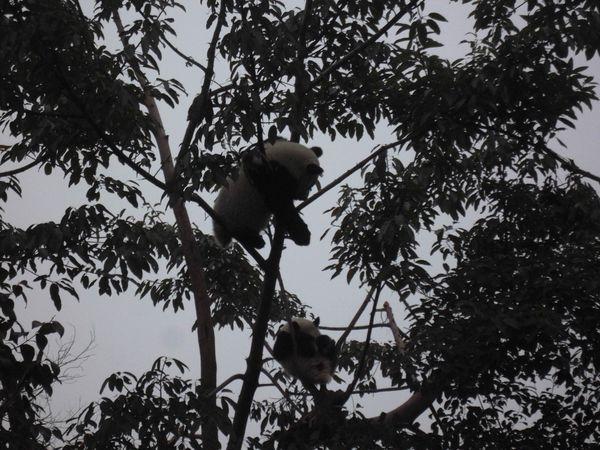 Chengdu, pandas dans l'arbre