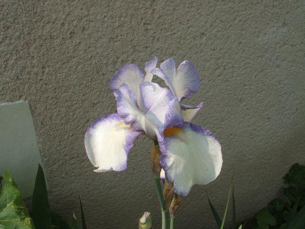 iris-0697.JPG