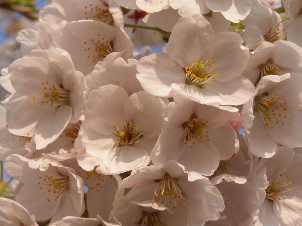 cerisier en fleur détail
