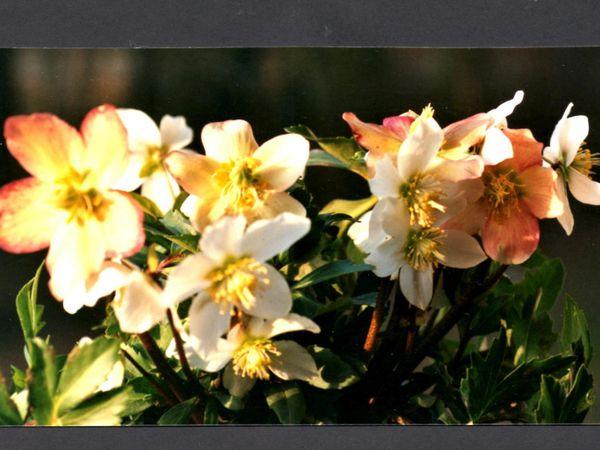 une plante Martin 18 janvier trouvée par Ajonc Rose-de-NOEL-III