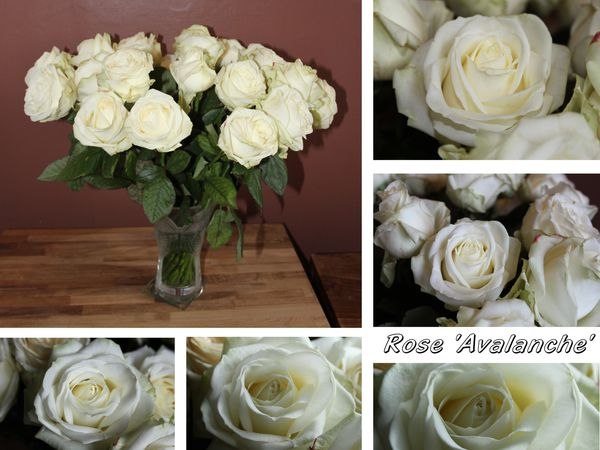 Bouquet de rose 'Avalanche'